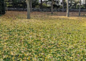 The lawn outside the garden is also covered in ginkgo leaves. To explain the phenomenon, deciduous trees form a scar between their leaves and stems to protect themselves from diseases and cold. Most flowering trees form scars at different rates, in different parts of the tree, over several weeks. Their leaves then fall off individually. However, ginkgo trees form scars across all their stems at once. And when a hard frost arrives, it finishes severing every leaf, and they fall to the ground in unison.