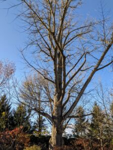 Here's a closer look at the tree's naked branches. Everyone at the farm checks on the tree daily during this time of year, and finally the great ginkgo is bare once again.