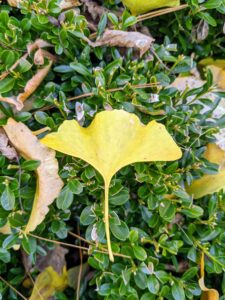 The leaves of the ginkgo are unusually fan-shaped, up to three-inches long, with a petiole that is also up to three-inches long. This shape and the elongated petiole cause the foliage to flutter in the slightest breeze.