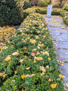 Boxwood also lines both sides of the stone footpath in this garden – now all covered in ginkgo leaves. I have taller American boxwood surrounding the entire space.