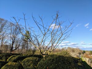 This is a photo of one of smaller ginkgo trees at a corner of my herbaceous peony bed – there is one on each corner of this garden. These trees also lost all their leaves.