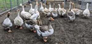 I have 17 geese including Eastern European Sebastopol geese, French Toulouse geese, African geese, Chinese geese, and of course, my two Pomeranian guard geese. And, all of them get along so well.
