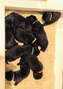Here are the puppies resting. It is very important to weigh each puppy at least once a day to ensure they are gaining weight. Because the puppies look very similar at this age, we put light Velcro puppy collars on them so we can identify each puppy and record their weight. Puppies should gain five to 10-percent of their birthweight each day.