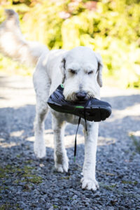 Dan's dogs are also featured. This is Henri walking over to greet Dan with a gift of a shoe.(Photo by Claire Takacs)