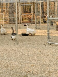 The chicken yard looks terrific. Thanks to Garon Fence Co. and my crew for doing such a great job - the chickens, geese and Guinea fowl are so happy and healthy.