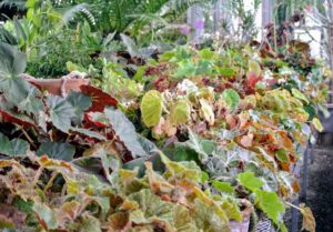 Begonias take up two other tables. These plants are considered cool temperature plants and do best in temperatures ranging from 58 to 72 degrees Fahrenheit. I am fortunate to have such a large temperature and humidity controlled space to house all these beautiful plants.