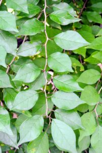 The leaves are three to five inches long and about three-inches wide. They are thick, firm, dark green and pale green. There is also a line down the center of each leaf, with lines forming upside-down V-shapes extending from the center line to the edge of the leaf.
