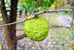 Have you ever seen an Osage orange? Despite its name, it is not related to oranges at all. It is actually a member of the fig family.