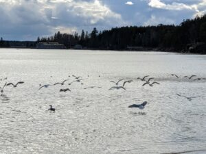 This is a photo of seagulls as they take off from Seal Harbor Beach.