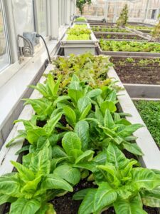 By mid-November, we already had lots of fresh greens growing so beautifully. All my plants are grown organically and have no chemical taste at all.