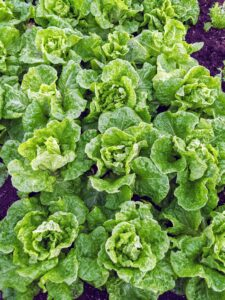 Butter lettuce is a type of lettuce that includes Bibb lettuce and Boston lettuce. It's known for loose, round-shaped heads of tender, sweet leaves and a mild flavor.
