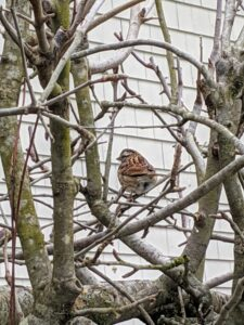 Here is a sparrow sitting on one of the branches of the apple espalier. Sparrows are frequent visitors to backyard feeders, where they eat most kinds of birdseed, especially millet, corn, and sunflower seed.