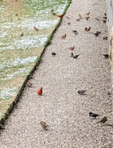 These birds also get the seeds that fall on the ground below. A red cardinal is on the left. The northern cardinal is a bird in the genus Cardinalis; it is also known as the redbird, common cardinal, red cardinal, or just cardinal. It can be found in southeastern Canada, through the eastern United States from Maine to Minnesota to Texas, and south through Mexico, Belize, and Guatemala.