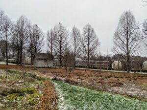 """And here is a view of my Stewartia garden, now bare for the cold months. The stand of bald cypress, Taxodium distichum, borders this garden on one side. They too have lost their needlelike foliage. In fact, they get the name """"bald"""" cypress because they drop their leaves so early in the season."""