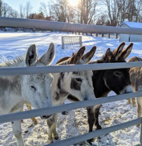 These are three of my five donkeys - Clive, Billie and Rufus - waiting patiently for lunch. They love this weather and have naturally thick coats that protect them in the cold.