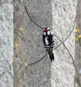 Downy woodpeckers are some of the most common woodpeckers in the area. This one is across the carriage road on one of the pergola posts. This woodpecker is a male by the red marking on his head. Females are simply black and white.