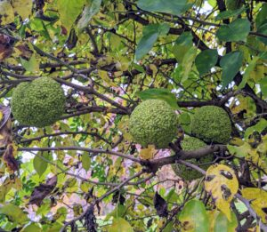 On this tree, one can see the many fruits. Each fruit is about four to five inches in diameter.