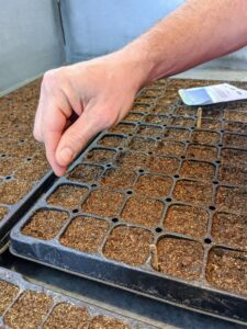 Ryan drops the seeds into the tray cells a couple at a time. Once they germinate, he will pull the weaker one to allow the stronger one to thrive.