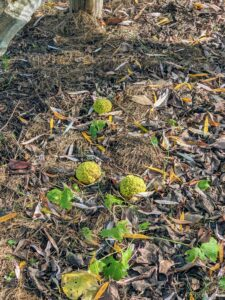 By late fall, many fruits drop to the ground. Although these fruits are not edible to humans, squirrels relish the small seeds buried inside the pulp.