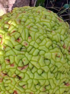 The Osage orange is a dense cluster of hundreds of small fruits. Some say it resembles the many lobes of a brain.