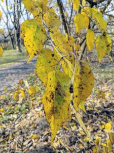 The leaves are glossy and green in the spring and summer, and then turn this bright yellow in autumn.