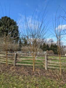 Although it is difficult to see, these Osage orange trees are now pruned and will look very pretty when the leaves return in spring. These trees can grow up to 60 feet tall. Do you have Osage orange trees where you live? Let me know in the comments section – I love hearing from all of you!