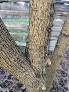 The wood of the Osage orange tree is extremely hard and durable. On older trunks the bark is orange-brown and furrowed. The heavy, close-grained yellow-orange wood is very dense and is prized for tool handles, treenails, and fence posts.