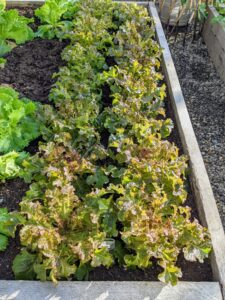 """I love fresh lettuce. It's a real treat to have lettuce like this all year long. This lettuce is called """"Salad Bowl"""" - an ideal lettuce variety for the home vegetable garden. It forms large green rosettes of delicate, tender leaves."""