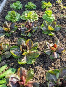 Endives are vegetables belonging to the genus Cichorium. Species include Cichorium endivia, Cichorium pumilum, and Cichorium intybus. Common chicory includes types such as radicchio, puntarelle, and Belgian endive.