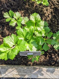 Celery is part of the Apiaceae family, which includes carrots, parsnips, parsley, and celeriac. Its crunchy stalks make the vegetable a popular low-calorie snack with a range of health benefits.