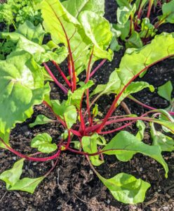"""These beets are """"Detroit Dark Red"""" - a very popular and versatile beet that is rich in color and texture."""