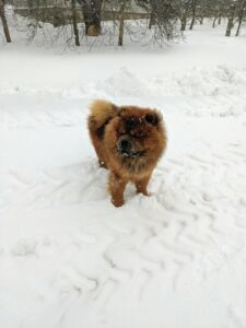This day's temperatures remained in the low 20s, but my young Chow Chow Emperor Han, with his dense double coat, didn't seem to mind at all.