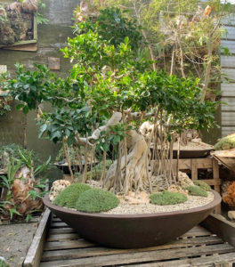 This is an aged Ficus macrocarpus bonsai with aerial roots and Abromeitiella mounds.