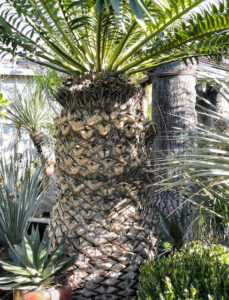 """Here is an """"ancient"""" and very large Encephalartos tree. Encephalartos woodii, Wood's cycad, is a rare cycad in the genus Encephalartos, and is endemic to the oNgoye Forest of KwaZulu-Natal, South Africa. It is one of the rarest plants in the world."""
