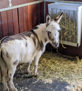By late afternoon, the donkeys are inside the stable eating supper. Donkeys require a diet low in protein, sugar, and starch, but high in fiber.