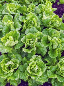 And everyone knows I love fresh lettuce. It's a real treat to have lettuce like this through the year. Butter lettuce is a type of lettuce that includes Bibb lettuce and Boston lettuce. It's known for loose, round-shaped heads of tender, sweet leaves and a mild flavor.