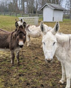 Donkeys are herd animals, so they don't like being separated from other members of their pack. I am very glad all five get along very well.