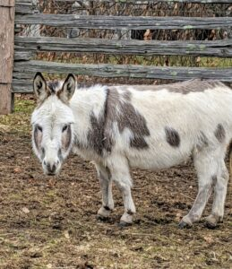 The thing to remember, however, is that donkeys cannot be overfed. Eating too much protein and other nutrient-rich foods can make them sick. They also tend to gain weight very easily. I am very glad these donkeys are in good shape.
