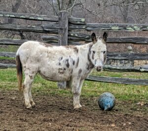 Here's Billie. Some donkeys love to play with balls. The donkeys have several Jolly balls in their enclosures. Sometimes they will bite, throw and run with these balls. They're a fun way to expend energy and provide good mental stimulation.