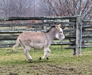 On this day, the donkeys were very playful and ran as soon as someone came near. Truman Junior is off again. They love to play with each other and watch the activity around the farm.