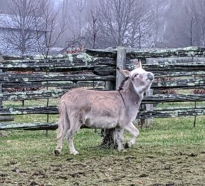 """Truman Junior is about five years old and a little taller than Jude Junior. Male donkeys are called jacks. Here he is playing and braying, a distinct two-toned call that sounds like """"hee-haw."""""""