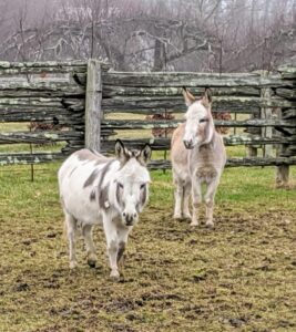 Here are my two younger donkeys, Jude Junior and Truman Junior – affectionately named after my grandchildren. They joined my stable in May 2019 and are doing great. These two are very bonded and are never far apart.