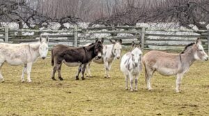 """Here are my five donkeys - Clive, Rufus, Billie, Jude """"JJ"""" Junior, and Truman """"TJ"""" Junior. They are in their large paddock just down the hill from my home. Ideally, the outdoor space should consist of donkey-safe grazing pasture, and at least half an acre of land per donkey - more if possible."""