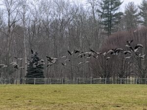 But they did not stay long. After a few minutes, the flock quickly took off and headed north.