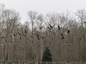 Here are the last of them. In flight, each bird flies slightly above the bird in front, reducing wind resistance. The birds take turns being in the front, falling back when they get tired. In this way, the geese can fly for a long time before they must stop for another break.