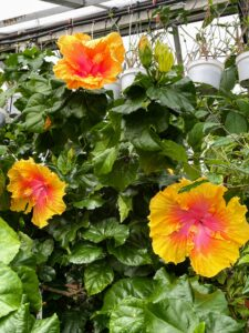 This is Hibiscus sinensis 'The Path.' The upright plant is dense with slightly serrated foliage. Its brilliant yellow-edged flowers blend to a rich orange which is often spotted yellow and deep pink. 'The Path' is a prolific bloomer and a good sturdy bush.