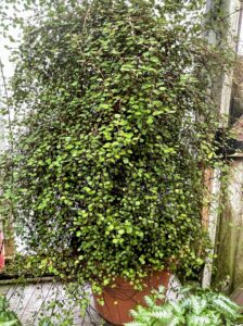 Muehlenbeckia complexa 'Big Leaf' is a twining, evergreen ground cover featuring larger, round, light green leaves on wire like stems. This wire vine likes any well-drained soil. It will form a trailing mat of foliage and is a good selection for rock walls and containers.