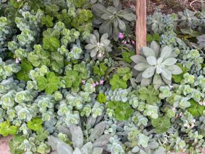 Byron also has a growing house dedicated to raising succulents. Here are some growing under a bench. In botany, succulent plants are plants with parts that are thickened, fleshy, and engorged, usually to retain water in arid climates or soil conditions. I am very fond of succulents and have a large collection of my own in my Bedford, New York greenhouse.