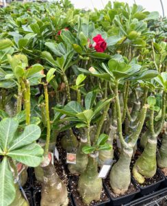 These are grafted Adeniums. Adenium is a genus of flowering plants in the family Apocynaceae first described as a genus in 1819. It is native to Africa and the Arabian Peninsula.