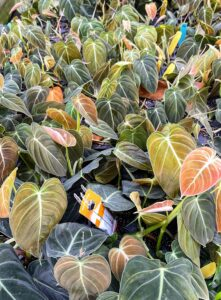 These are the leaves of 'Black Gold' Philodendron, Philodendron melanochrysum. 'Black Gold' is a vining philodendron that when mature produces long leaves of iridescent black-green with pale green veins. The juvenile leaves emerge with bronze tones. 'Black Gold' Philodendron prefers to be grown in warm temperatures and indirect lighting near a window.
